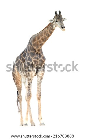 Somali giraffe (Giraffa camelopardalis) standing isolated on white background. This has clipping path. - stock photo