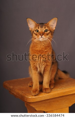 Somali kitten ruddy color sitting on wooden chair - stock photo