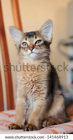 Somali kitten sitting on the chair portrait