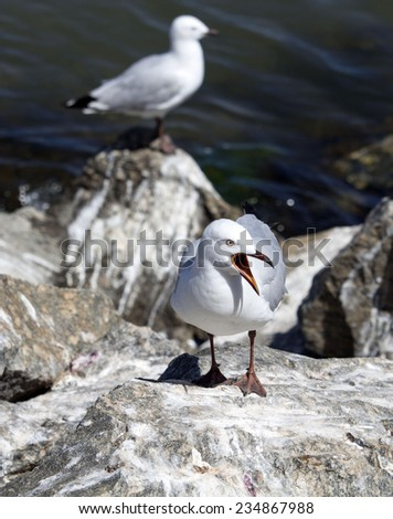 Some   beautiful seagulls   seabirds of family Laridae in sub-order Lari  are  perched on a  granitic rock on a fine morning in early summer squawking loudly as the chicks are being raised nearby. - stock photo