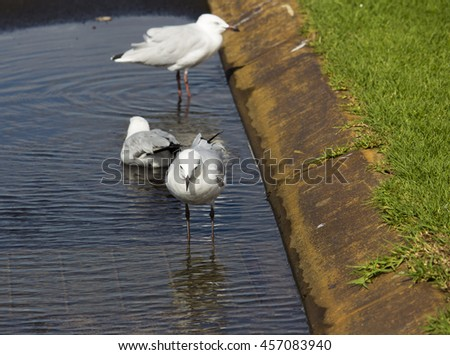 Some  beautiful seagulls  seabirds of the family Laridae in the sub-order Lari  reflected in the  puddle are  enjoying a cool sip of water  in the parking area of the park on a summer afternoon. - stock photo