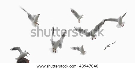 some birds, pigeons flying isolated on white - stock photo