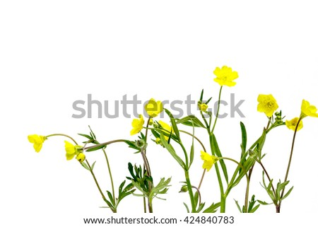 some buttercup against white