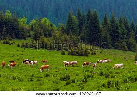 Some cows at the mountains in Romania