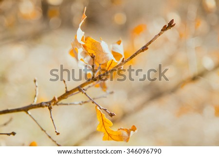 Some dry yellow oak leaves lit with the sun on a thin branch in the fall. An indistinct background from the autumn wood. Small depth of sharpness for underlining of volume - stock photo
