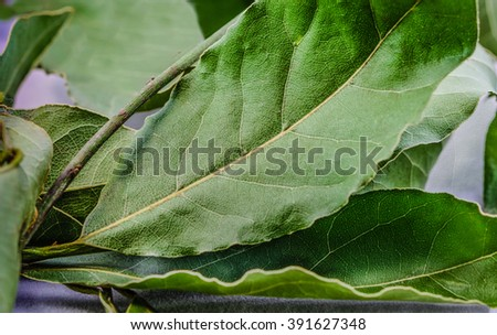 Some fresh, green Laurel leaves on a branch. Macro.