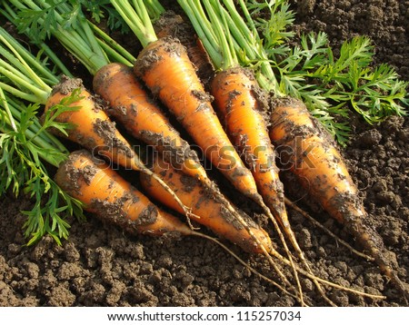 some fresh harvested carrots on the ground - stock photo