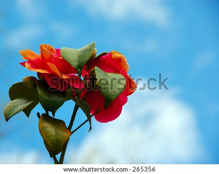 Some japanese roses against a blue cloudy sky. - stock photo