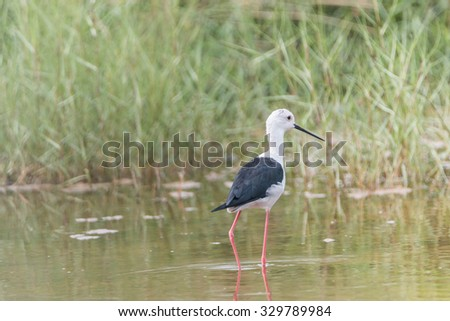 Some male birds have peaked and long straight black lips. Head and white body The wings and fuselage black top. Very long legs, red, pink Some may have a black head and neck styles vary. - stock photo