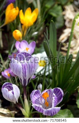 Some multi-colored snowdrops, crocuses , against a green grass. - stock photo