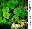 Some naturally growing clover plants in the forest. - stock photo