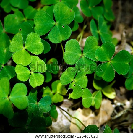 Some naturally growing clover plants in the forest.