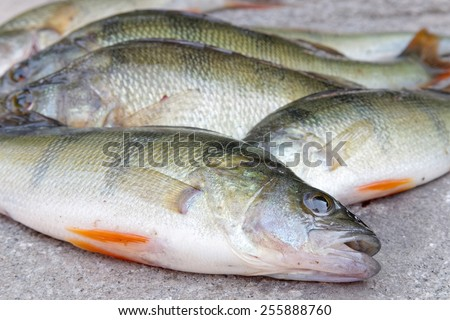 Some newly Catch of european perch laying on  a rock - stock photo