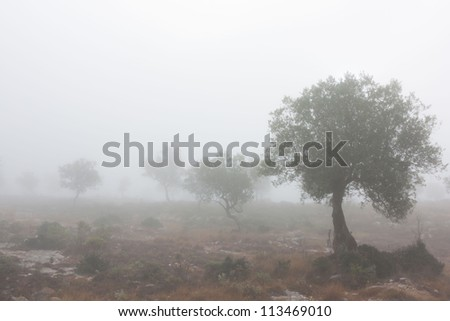 Some olive trees isolated in the fog