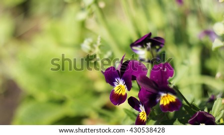 Some pansies in purple color