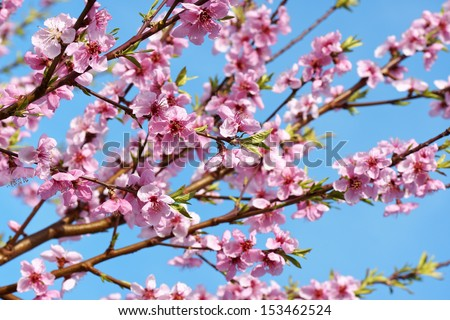 Some peach blossoms on the branch during spring blooming - stock photo