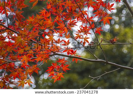 Some red leaves close up still over an green and autumn colors in a deep forest landscape scene in Kawaguchiko, Japan. - stock photo
