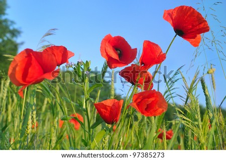 some red poppy on bly sky background