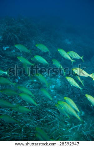 Some sea-breams spondyliosoma cantharus in the mediterranean sea.. - stock photo