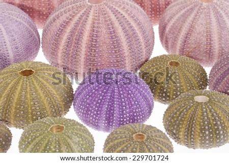 some seashells of sea urchin on white background - stock photo