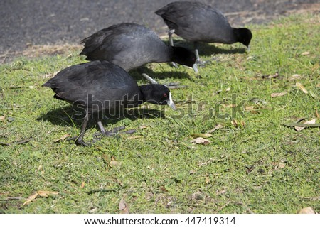 Some small dainty black  Eurasian Coots (Fulica atra) are  standing on the fresh green grass eating the juicy tips  in Big Swamp Bunbury Western Australia on a sunny  late afternoon  in early winter.