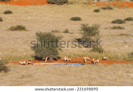 Some springbok drinking in a waterhole, Namibia - stock photo