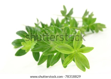 some stems woodruff against white background - stock photo