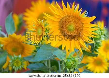 some sunflowers blossoming on a sunny day - stock photo