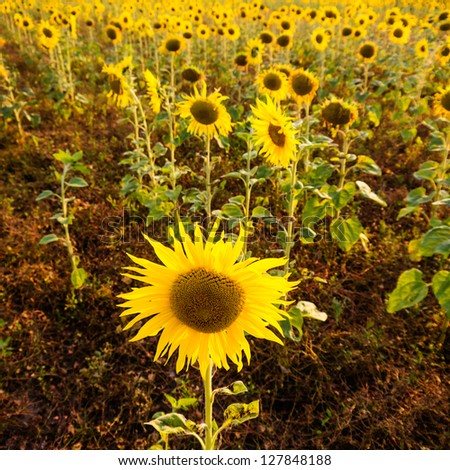 some sunflowers on a field - stock photo