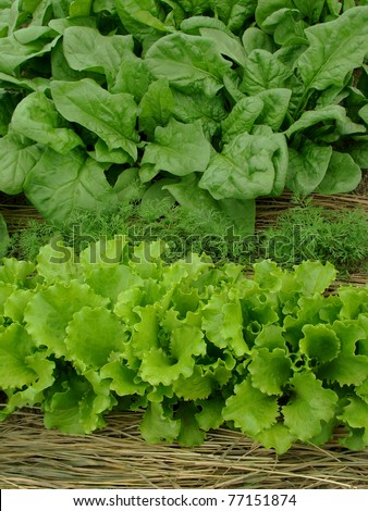 some types of greens growing together on mixed vegetable bed - stock photo