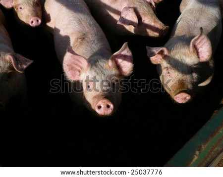 Some young piglets in a sty on a farm