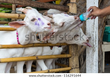 Someone is feeding goat with milk's bottle by hand. - stock photo