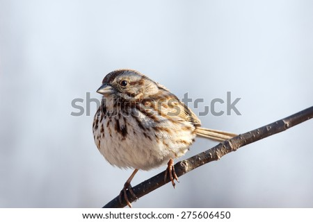 Song sparrow, Melospiza melodia, on branch - stock photo