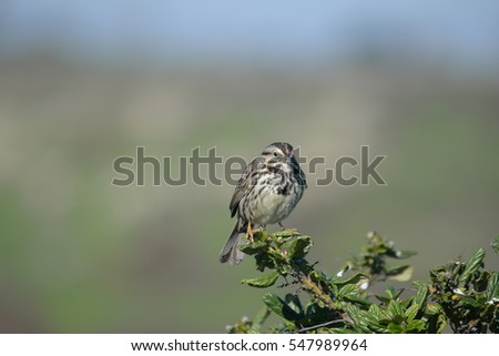 Song Sparrow perched on a branch