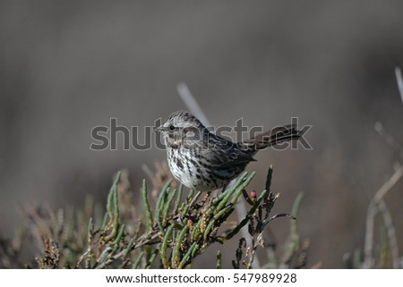 Song Sparrow perched on a bush