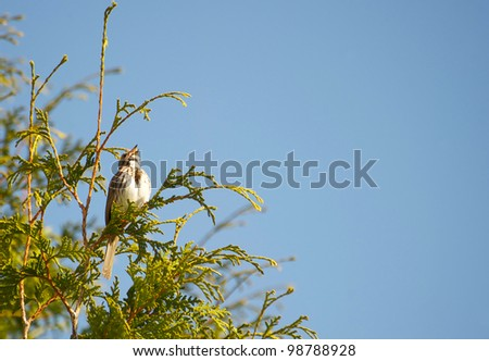 Song sparrow singing his little heart out in the spring against a brilliant blue sky with copy space.