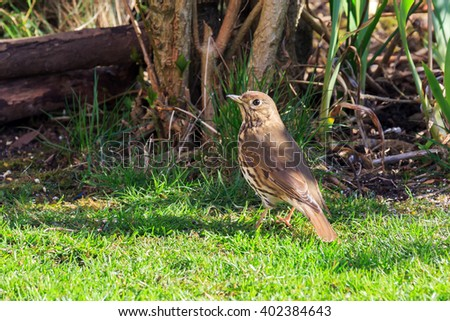 Song Thrush in an English garden