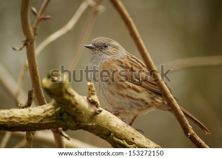 Song Thrush in English forest - stock photo
