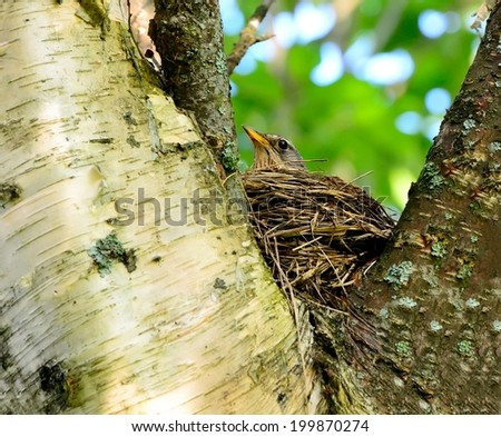 Song Thrush in the nest.(Turdus philomelos). - stock photo