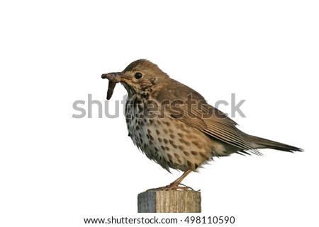 Song thrush, Turdus philomelos, single bird on post, Midlands