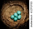 Song Thrush,  Turdus philomelos. The Nest of bird with five blue eggs. - stock photo