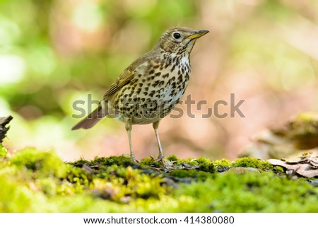 Song thrush walking on brown ground with grass and a green background.