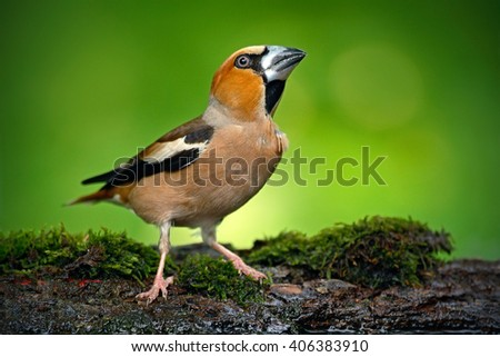 Songbird, Hawfinch, Coccothraustes coccothraustes, brown songbird sitting in the water, nice lichen tree branch, bird in the nature habitat, spring - nesting time, reflection, Hungary - stock photo