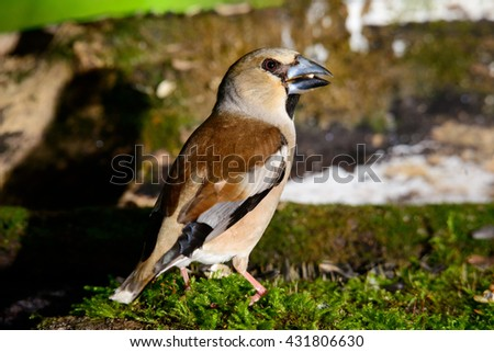 Songbird, Hawfinch, Coccothraustes coccothraustes, brown songbird sitting in the water, nice lichen tree branch, bird in the nature habitat, spring - nesting time, reflection, - stock photo