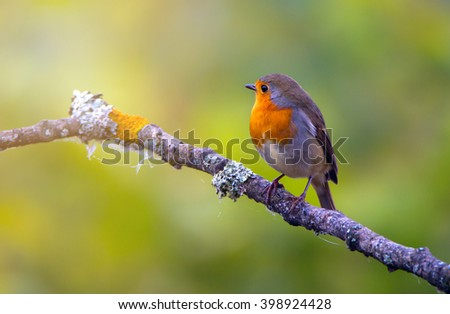 Songbird robin on a branch. On a green blurred background. - stock photo