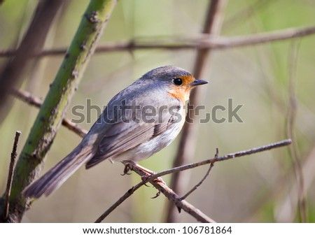 Songbird robin sitting on a branch in the forest - stock photo