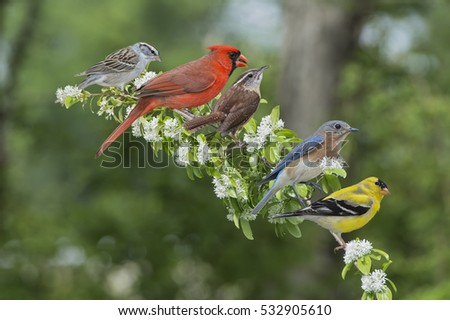 Songbirds Perched on Chinese Fringe Tree Branch