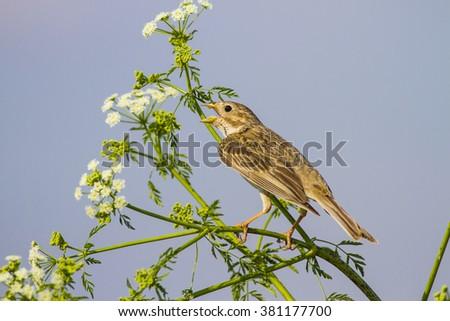 Songs of bird Corn Bunting / Emberiza calandra - stock photo
