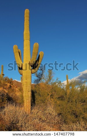 Sonoran desert landscape and cactus details - stock photo