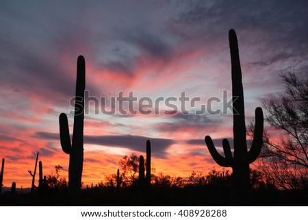 Sonoran Desert sunset with iconic Saguaro columnar cacti, Carnegiea gigantea, in Saguaro National Park, Arizona AZ, USA - stock photo